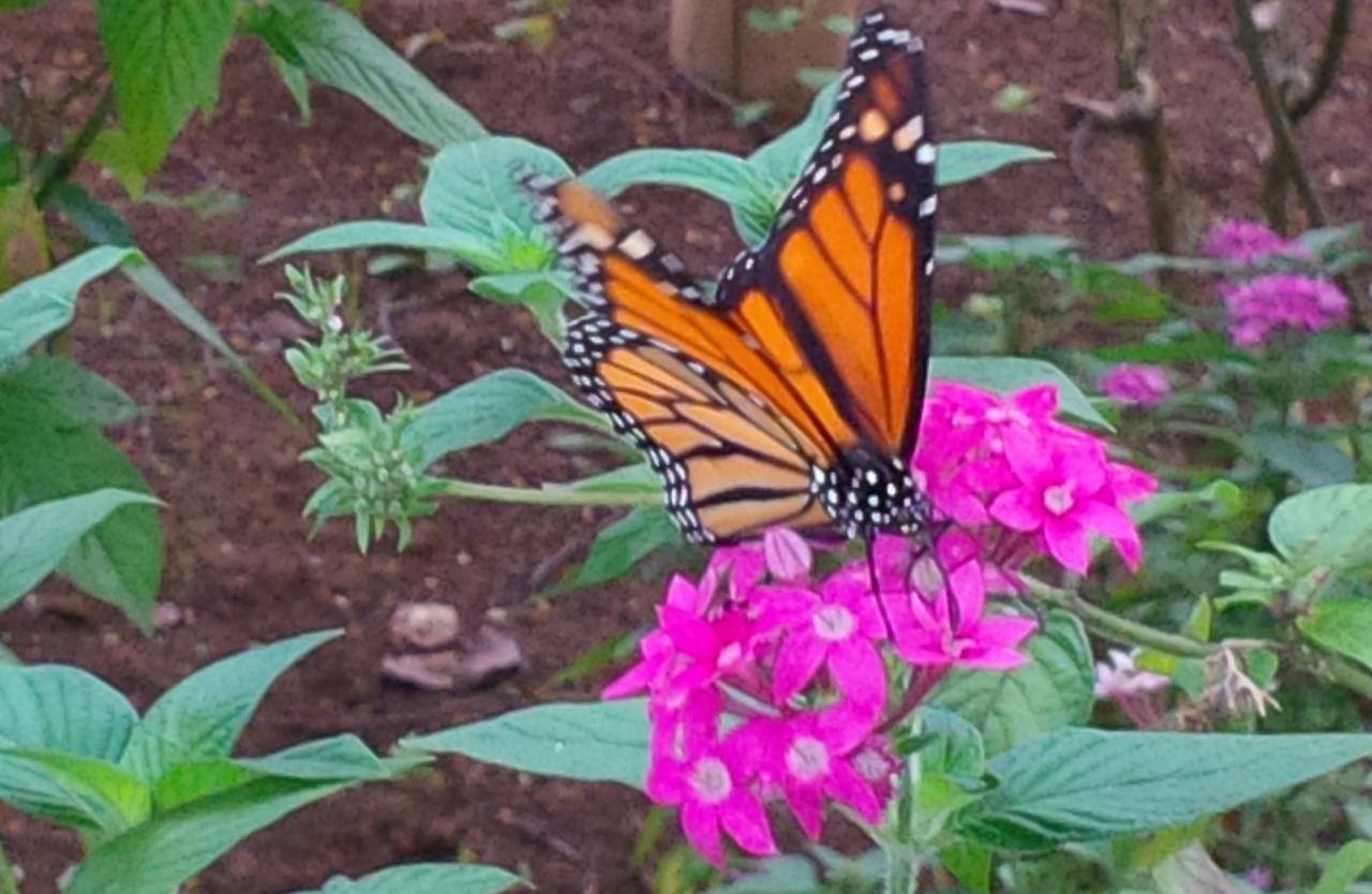 Monarque....dans la serre aux papillons